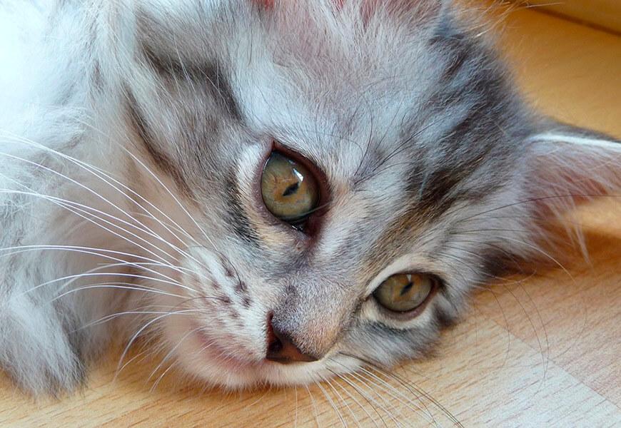 Выбираем котят мейн-кун