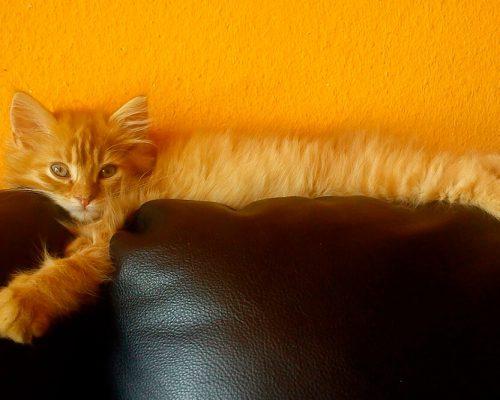Берем домой котят мейн-кун