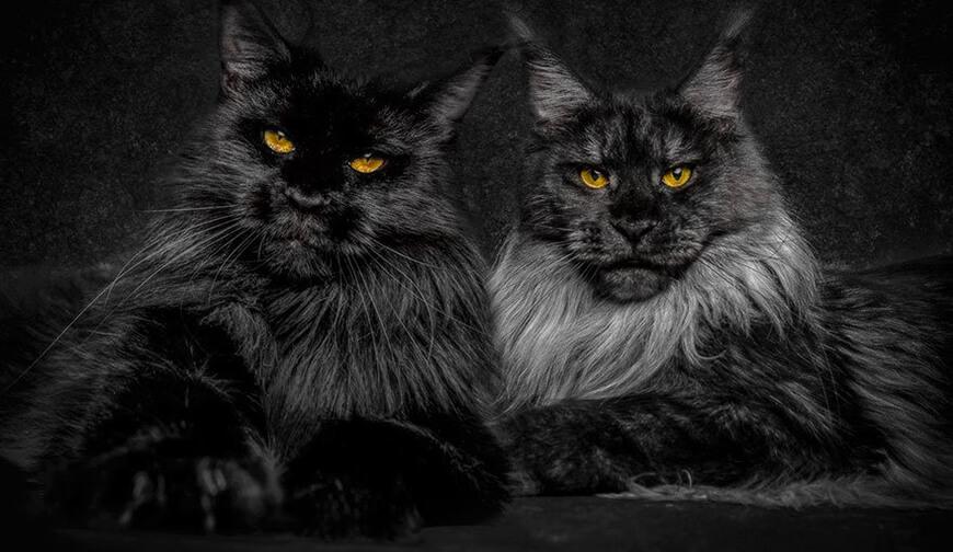 Вес взрослых котов мейн-кун