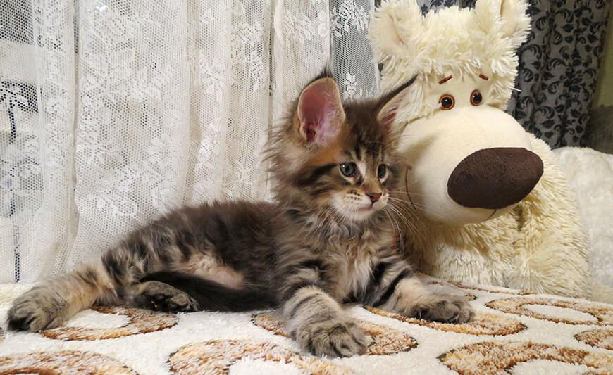 Вес котят мейн-кунов