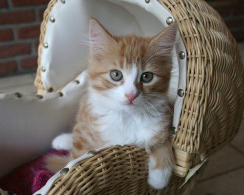 Переезд мейн-куна: что нужно подготовить для котенка в новом доме и его адаптация