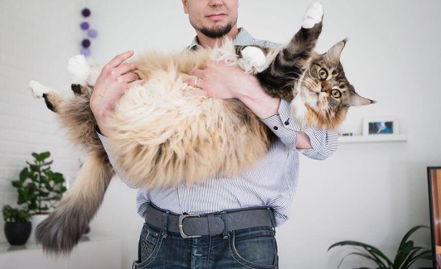 кот Пиккис, живущий в Финляндии